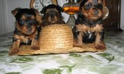 Classified, .Yorkshire Terrier Puppies for Sale.