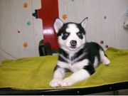 Male/Female Siberian Husky Puppies Ready