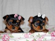 Magnificent And Tiny Yorkshire Terriers